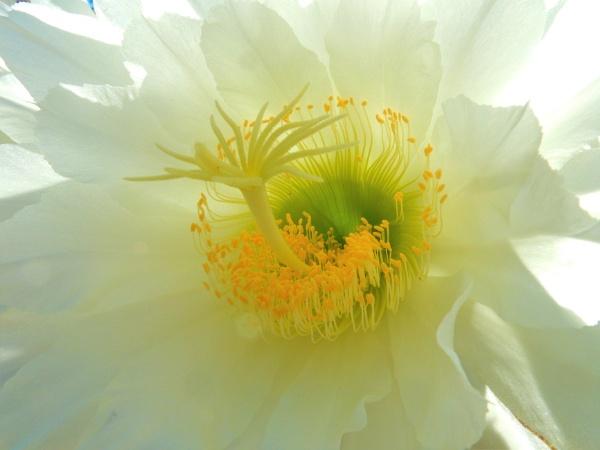 "\""Dancing Cactus Flower\"" by dales"