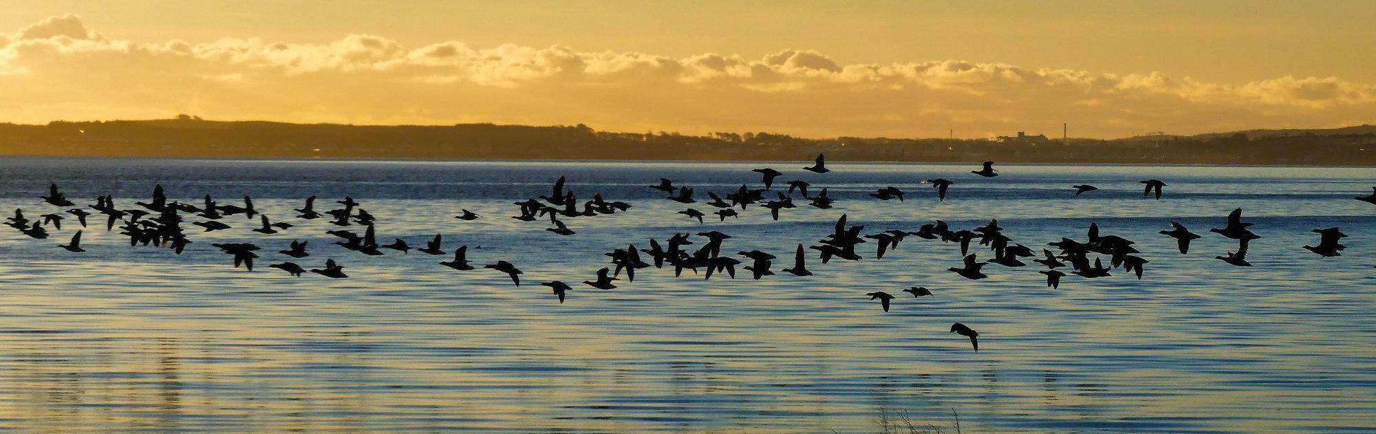 Freezing Morning Geese in flight