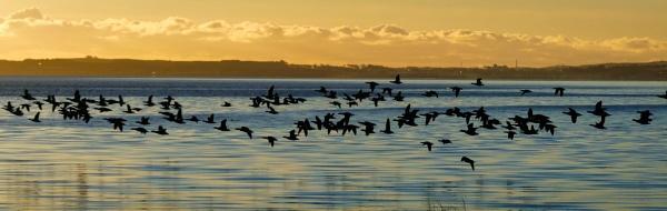 Freezing Morning Geese in flight by Backabit