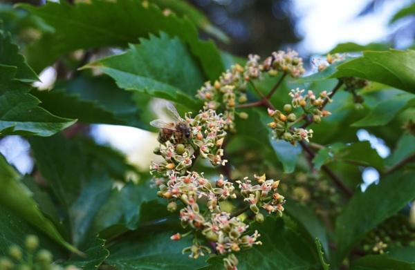Honey bee by SauliusR