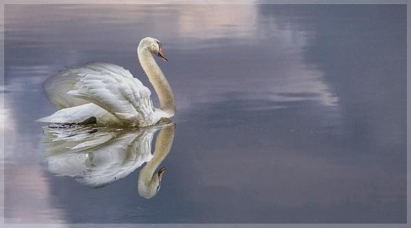 Swan Reflection by MAK2