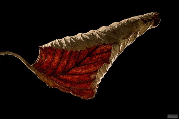 Backlit Leaf by LighthousePhotography