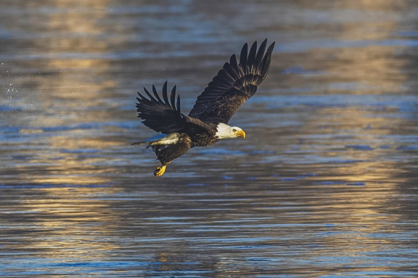 Eagle With A Fish by TDP43