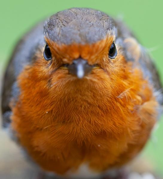 Grumpy Robin by Acancarter