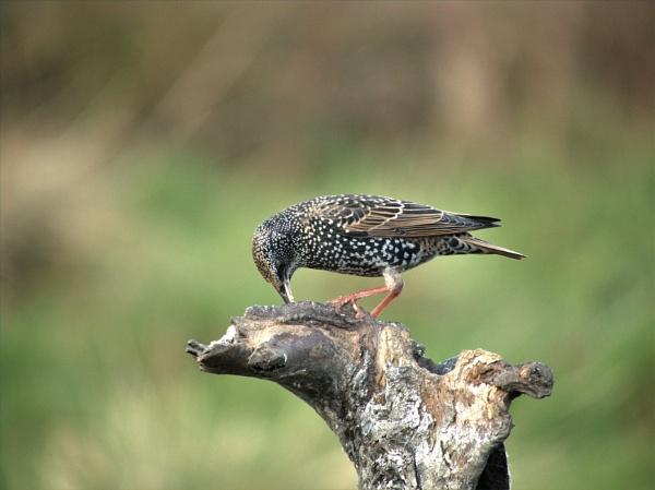 Starling by GwB