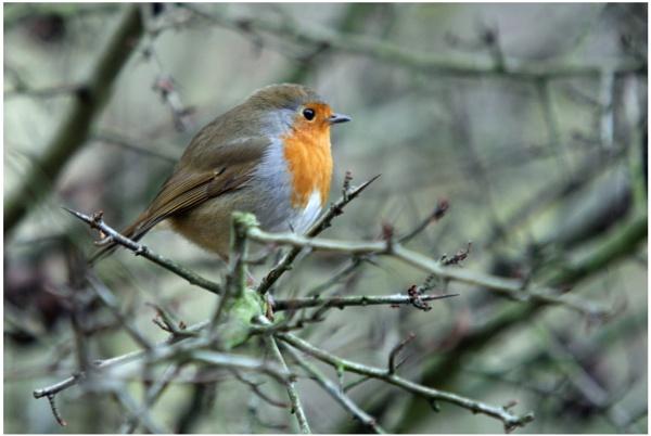 Robin by davidgibson
