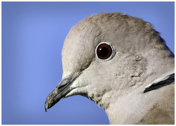 Collared dove by davidgibson