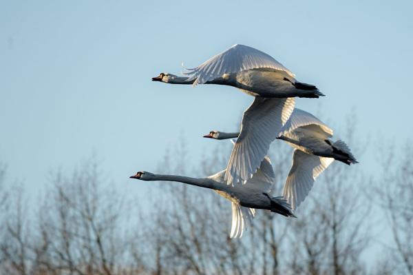 Aeiral Swans by chensuriashi