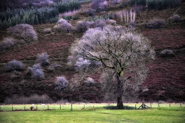 Talybont Tree by Buffalo_Tom