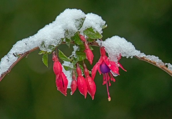 Fuschia and snow by oldgreyheron