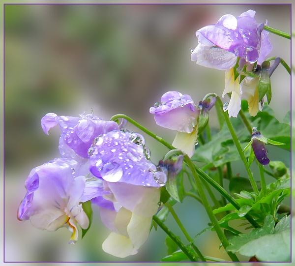 Violas by Sylviwhalley