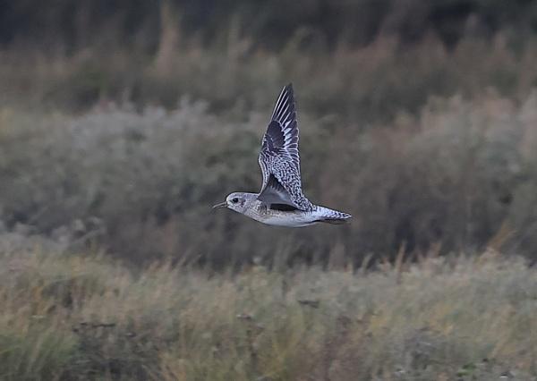 Grey Plover in Flight by NeilSchofield