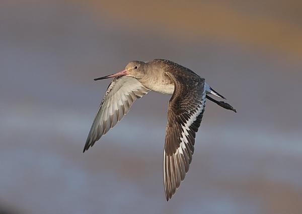 Black Tailed Godwit in Flight by NeilSchofield