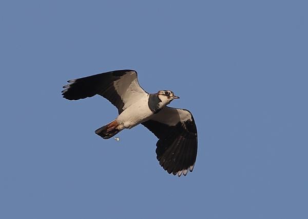 Lapwings in Flight by NeilSchofield