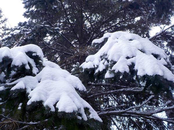 Snow on a Pine Tree ... by TimothyDMorton