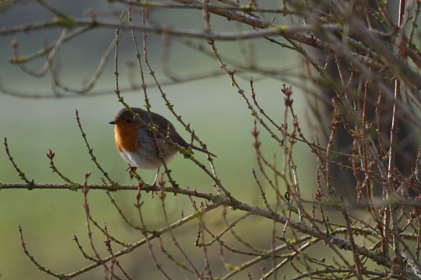 Mr Robin by theroadruner