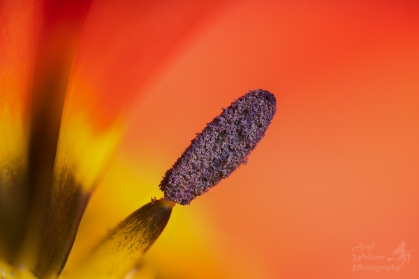 Tulip stamen by Angi_Wallace