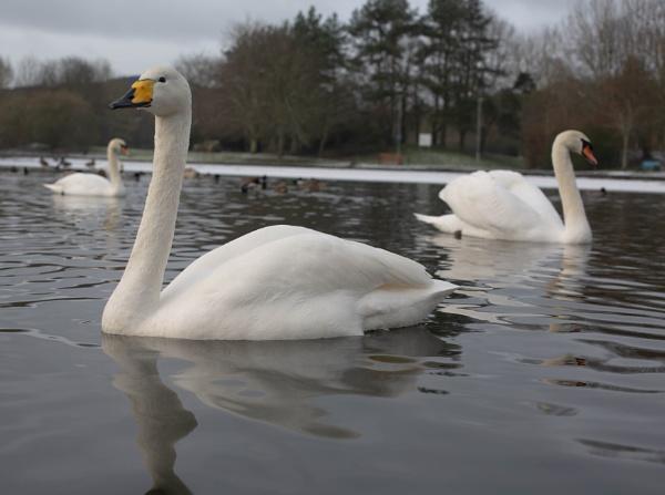 swans by SCUBAMAN