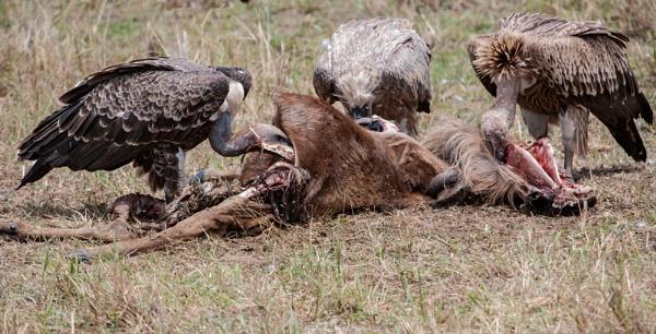 Feeding on the carcass. by rontear