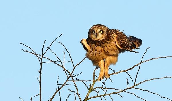 Short Eared Owl by Len1950