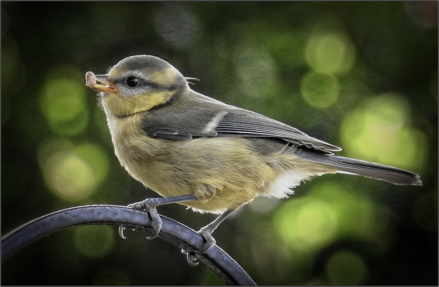 Blue Tit with Sunflower Heart (5)