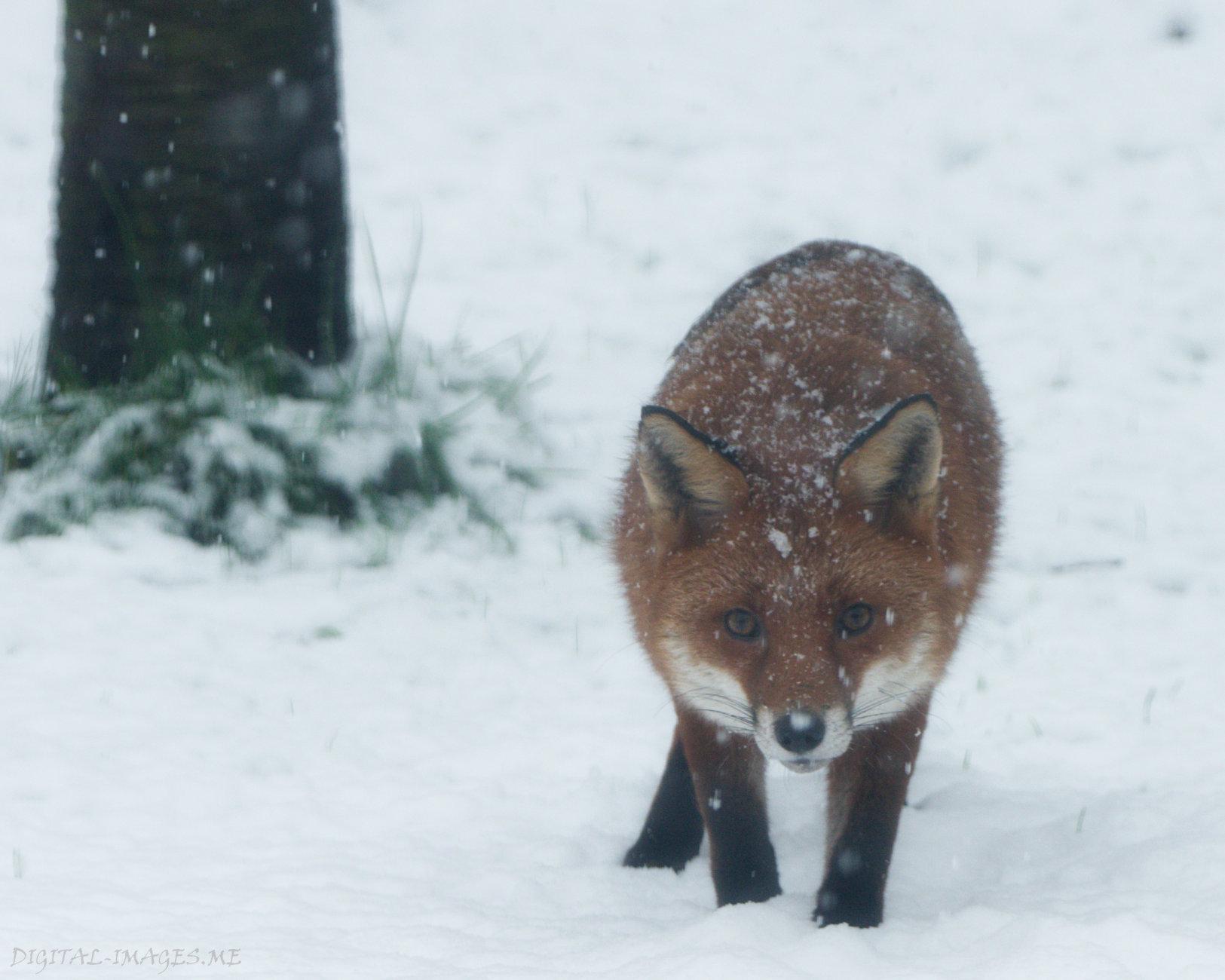 Not an Arctic Fox