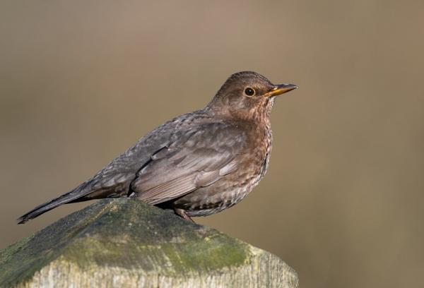 Female Blackbird by jasonrwl