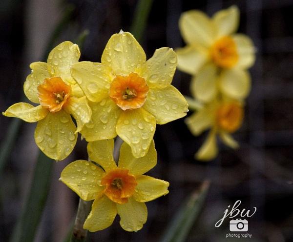 Daffodil by Jodyw17