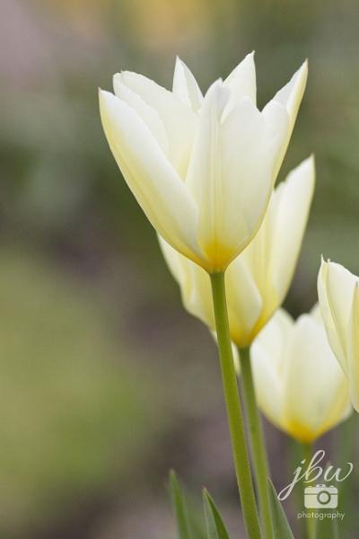 Tulips by Jodyw17