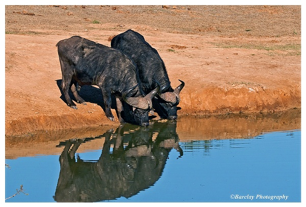 Buffalo reflections Addo National Park by fatfranksfolley