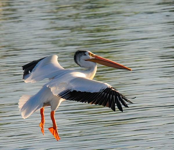 Pelican landing by StuartDavie