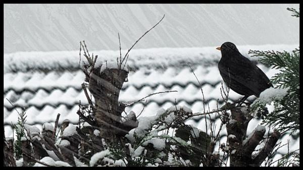 BLACKBIRD IN THE SNOW. by kojack