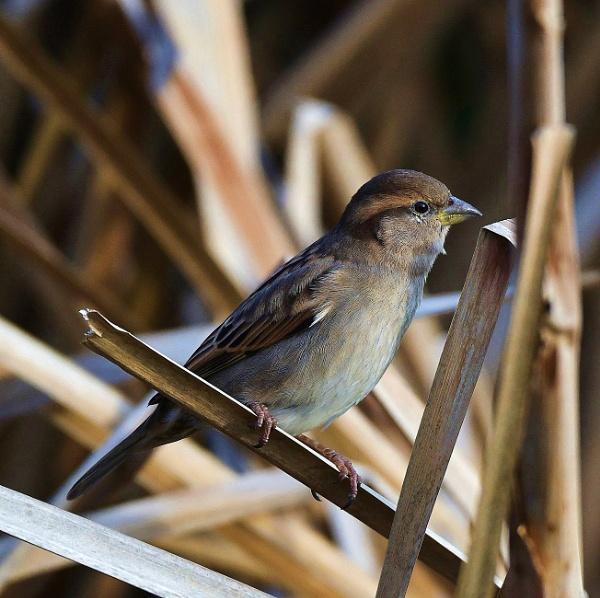 Sparrow by nealie