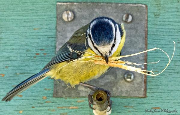 Blue tit preparing it\'s nest. by louie1st