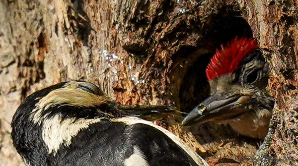Feeding time for the Woodpecker. by louie1st
