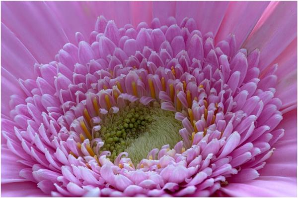 Gerbera Close Up by capto