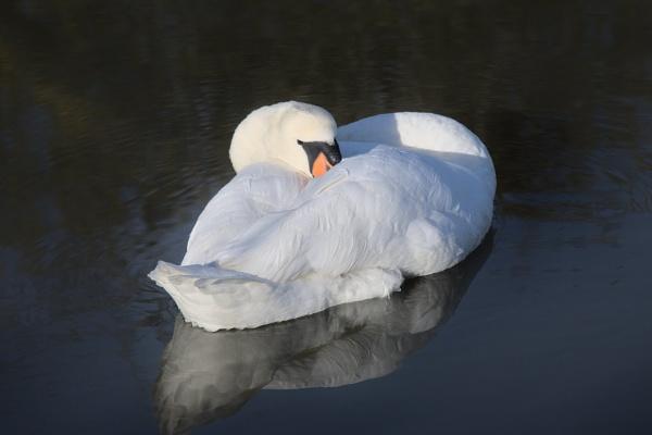 Swan repose by jander01