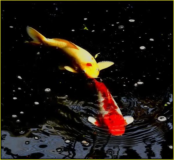 Koi fish by fotobee