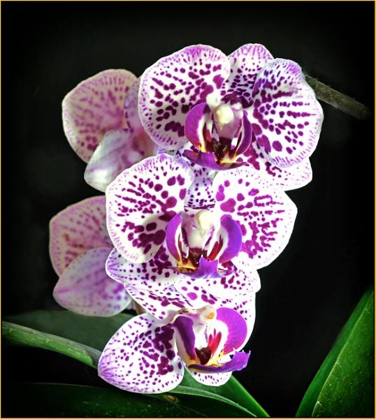 Phalaenopsis hybrid (again!) by fotobee