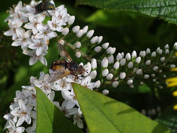 Summer Fly on Heath Bedstraw by sueriley