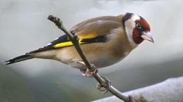 Goldfinch 0