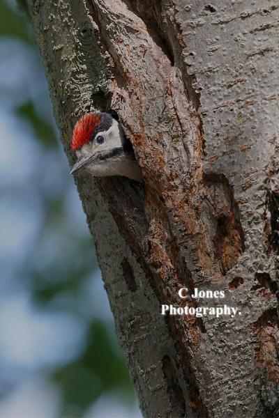 Great Spotted Woodpecker. by cjones