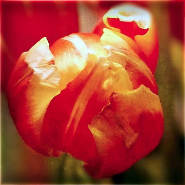 Vintage Tulip by LoryC