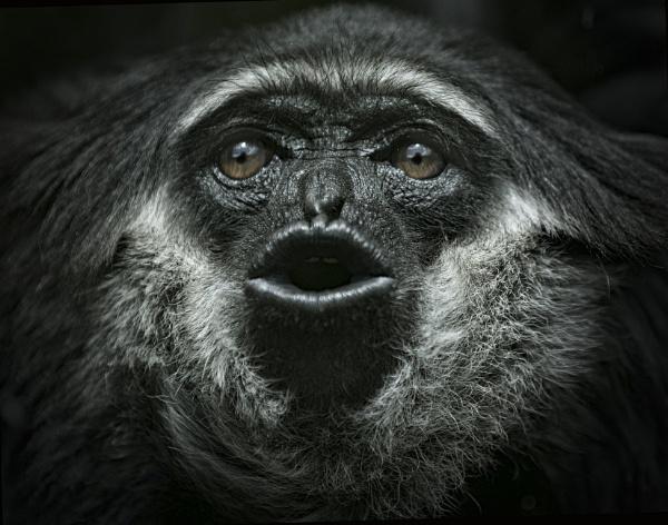 Agile Gibbon ((Hylobates agilis) by Theappertunist