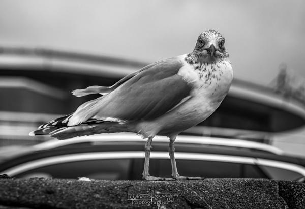Juvenile seagull by IainHamer