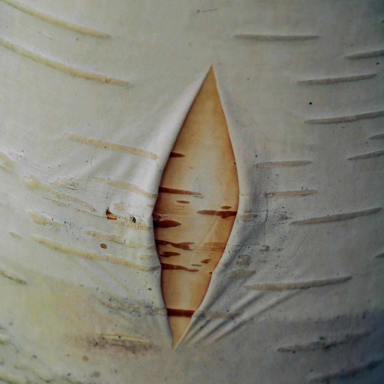Birch bark breech