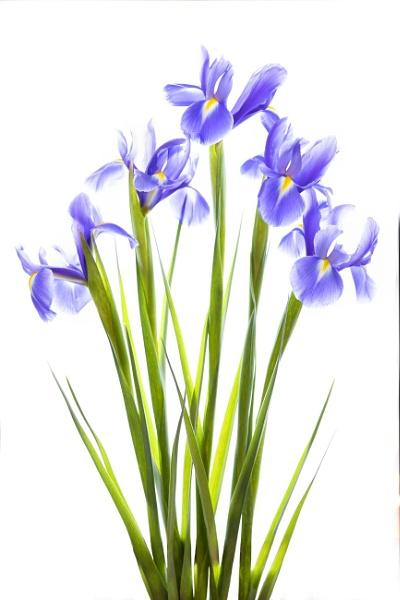 Irises by swilliams71