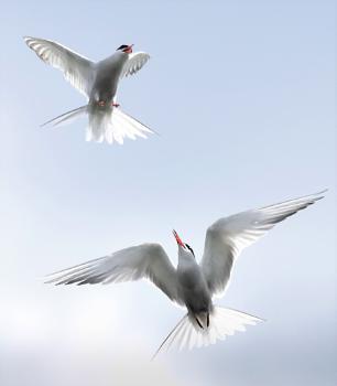 Common Terns in flight