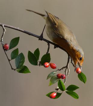 Robin Feeding
