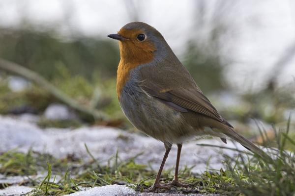 Proud Robin by PGibbings
